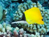 Big Long-Nosed Butterflyfish, Takapoto Atoll, French Polynesia Fotografisk tryk af Tim Laman
