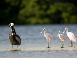 Brown Pelican and Roseate Spoonbill, Tampa Bay, Florida Photographic Print by Tim Laman