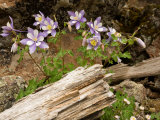 Colorado Columbines Blooming in Early July at 10,000 Feet Photographic Print by Michael S. Lewis