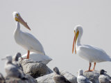 American White Pelicans on the Salton Sea, California Photographic Print by Rich Reid
