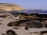 Colony of Endangered Australian Sea Lions Relax in the Sun Photographic Print by Jason Edwards