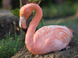 Caribbean Flamingo at the Sunset Zoo Photographic Print by Joel Sartore