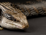 Blue-Tongued Skink at the Sunset Zoo, Kansas Photographic Print by Joel Sartore