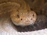 Aruba Island Rattlesnake, Sedgwick County Zoo, Kansas Photographic Print by Joel Sartore