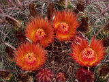 Barrel Cactus is Blooming in the Summer Monsoon Photographic Print by George Grall