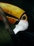 Colorful Toco Toucan's Blue Eye and Yellow, Orange and Red Beak Photographic Print by Jason Edwards