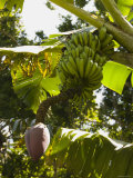 Bunch of Bananas Hanging from Banana Tree, Belize Photographic Print by James Forte