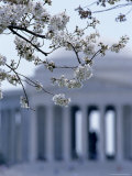 Closeup of Cherry Blossoms with Jefferson Memorial, Washington, D.C. Photographic Print by Kenneth Garrett
