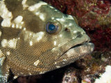 Closeup of a Marbled Grouper, Takapoto Atoll, French Polynesia Fotografisk tryk af Tim Laman