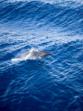 Bottlenose Dolphin Riding the Bow Wave of a Boat, French Polynesia Photographic Print by Tim Laman