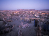 Camels Bed Down at an Oasis Where Salt is Harvested and Bought Photographic Print by Michael S. Lewis