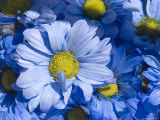Close View of Dyed Blue Dasies, Ventura, California Photographic Print by Stacy Gold