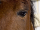 Closeup of a Horse's Eye Photographic Print by Tim Laman