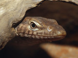 Black-Headed Monitor Peers from a Hollow Log in Search of Prey, Australia Photographic Print by Jason Edwards