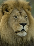 African Lion from the Sedgwick County Zoo, Kansas Stampa fotografica di Sartore, Joel