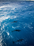 Bottlenose Dolphins Ride the Bow Wave of a Boat, French Polynesia Photographic Print by Tim Laman