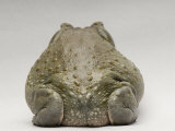 Colorado River Toad, Sedgwick County Zoo, Kansas Photographic Print by Joel Sartore