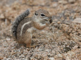 Antelope Ground Squirrel Poses for a Picture Photographic Print by George Grall