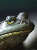 Bullfrog Sits on a Dock Photographic Print by Heather Perry