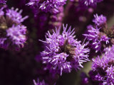 Close View of Purple Flowers, Ventura, California Photographic Print by Stacy Gold