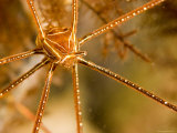 Closeup of an Arrow Crab, Malapascua Island, Philippines Photographic Print by Tim Laman