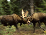 Bull Moose Sparring, Alaska Photographic Print by Michael S. Quinton