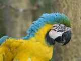 Blue-And-Yellow Macaw from the Sedgwick County Zoo, Kansas Stampa fotografica di Sartore, Joel
