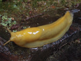 Banana Slug is Moving Accross a Rotted Log, California Fotoprint van George Grall