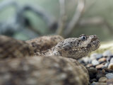 Captive Speckled Rattlesnake in an Aquarium In, California Photographic Print by Rich Reid