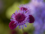 Close View of a Lavender Flower, Groton, Connecticut Photographic Print by Todd Gipstein