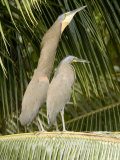 Bare-Throated Tiger Heron Displays to his Mate, Belize Photographic Print by Tim Laman