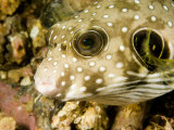Closeup of a White Spotted Puffer Fish, Malapascua Island, Philippines Photographic Print by Tim Laman