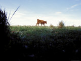Ants View of a Cow Moving Along the Roadside, Australia Photographic Print by Jason Edwards