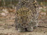 Amur Leopard at Rolling Hills Zoo Photographic Print by Joel Sartore
