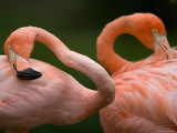 Caribbean Flamingos at the Sunset Zoo, Kansas Photographic Print by Joel Sartore