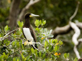 Brown Booby at a Mangrove Island Rookery, Belize Reproduction photographique par Tim Laman