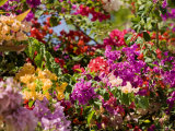 Bougainvillea Flowers of Mixed Colors, French Polynesia Photographic Print by Tim Laman