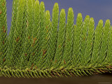 Close-Up Detail of the Bright Green Needles of a Pine Tree Leaf, Australia Photographic Print by Jason Edwards