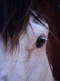 Close-Up View of a Clydesdale Horse's Eye and Mane Hair, Australia Photographic Print by Jason Edwards