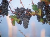 Barbera Grapes Ready for Harvest South of Tortona in Piemonte, Italy Photographic Print by Michael S. Lewis