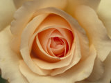 Closeup of a Mothers Love Rose Flower and Petals, Jamieson, Australia Photographie par Jason Edwards