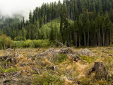 Clear Cut Forest on the Olympic Peninsula, Washington Photographic Print by Tim Laman