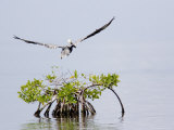 Brown Pelican Flies over a Red Mangrove, Belize Photographic Print by Tim Laman