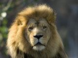 African Lion at the Sedgwick County Zoo, Kansas Fotografie-Druck von Joel Sartore