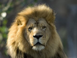 African Lion at the Sedgwick County Zoo, Kansas Photographic Print by Joel Sartore