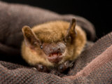 Big Brown Bat at the Sunset Zoo, Kansas Photographic Print by Joel Sartore