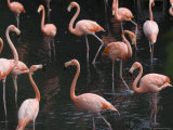 Caribbean Flamingoes at the Sedgwick County Zoo, Kansas Photographic Print by Joel Sartore