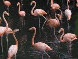 Caribbean Flamingoes at the Sedgwick County Zoo, Kansas Photographic Print by Joel Sartore