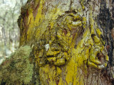 Bright Yellow Corticolous Lichen Growing on an Ancient Tree Trunk, Bunyip State Forest, Australia Photographic Print by Jason Edwards