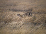 Cheetah Hunting Prey Across a Vast Grass Plain Savannah, Serengetti, Tanzania Photographic Print by Jason Edwards